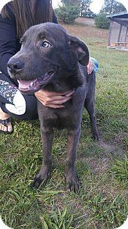 Labrador Retriever/German Shepherd Dog Mix Puppy for adoption in Cranston, Rhode Island - Eddie