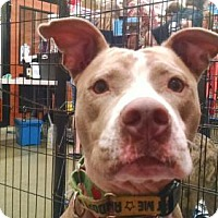Pit Bull Terrier Dog for adoption in Ringoes, New Jersey - Purdy (Pretty Girl)