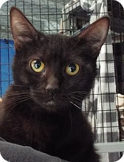 Domestic Shorthair Kitten for adoption in Grants Pass, Oregon - Cliff
