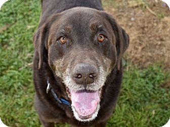Labrador Retriever Dog for adoption in Nanuet, New York - Whitman