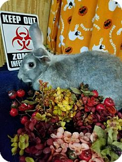 Flemish Giant Mix for adoption in Williston, Florida - Biscotti