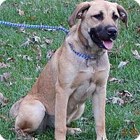 Anatolian Shepherd/Great Pyrenees Mix Puppy for adoption in Niagara Falls, New York - Lila (55 lb) Video!