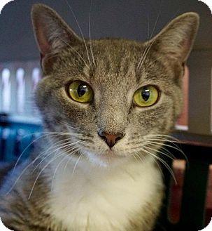 Domestic Shorthair Cat for adoption in Wauconda, Illinois - Coraline