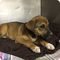 Shepherd (Unknown Type) Mix Dog for adoption in Albuquerque, New Mexico - Bailey