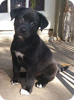 Labrador Retriever Mix Puppy for adoption in Newcastle, Oklahoma - Preacher