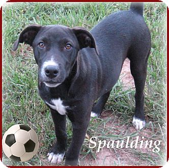 Flat-Coated Retriever/Labrador Retriever Mix Puppy for adoption in Marlborough, Massachusetts - Spaulding- I can be YOUR boy!