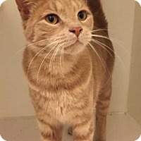 Adopt A Pet :: Nitro - Merrifield, VA