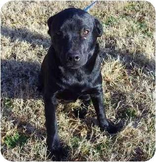 Labrador Retriever Mix Dog for adoption in Whitehouse, Texas - Gracie