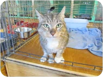 Domestic Shorthair Cat for adoption in Pascoag, Rhode Island - Maria