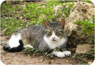 Domestic Shorthair Cat for adoption in Bulverde, Texas - Yipe Stripes