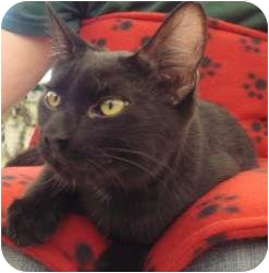 Domestic Shorthair Cat for adoption in Sacramento, California - Heidi W