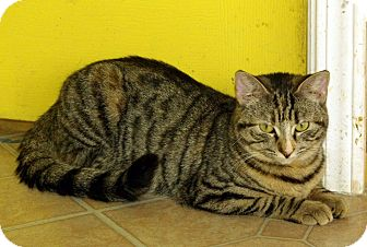 Domestic Shorthair Cat for adoption in Mobile, Alabama - Nala