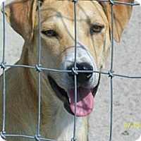 Labrador Retriever/Hound (Unknown Type) Mix Dog for adoption in Mexia, Texas - Harry