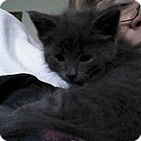 Adopt A Pet :: Blaze - Sterling Hgts, MI