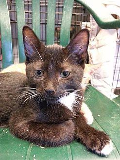 Domestic Shorthair Cat for adoption in Brainardsville, New York - Harley