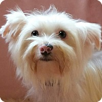 Adopt A Pet :: Marshmellow - Hagerstown, MD