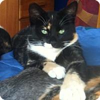 Domestic Shorthair Cat for adoption in Alamo, California - Rohini