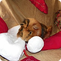 Guinea Pig for adoption in North Gower, Ontario - Fitz