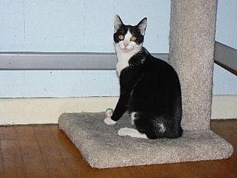 Domestic Shorthair Cat for adoption in Ephrata, Pennsylvania - Roman - VIDEO!!
