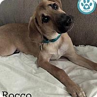 Adopt A Pet :: Rocco - Kimberton, PA