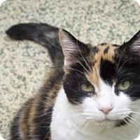 Calico Cat for adoption in Indianapolis, Indiana - Sadie