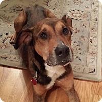Adopt A Pet :: Buddy - Oakland Gardens, NY