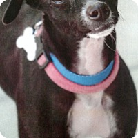 Adopt A Pet :: Gabby - Yuba City, CA