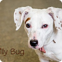 Adopt A Pet :: Lilly Bug - Somerset, PA