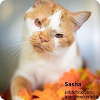 Adopt A Pet :: Sasha - Brockton, MA