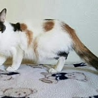 Calico Cat for adoption in Monrovia, California - Mama Joelle