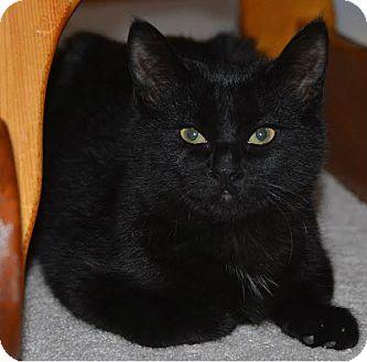 Domestic Shorthair Kitten for adoption in Toronto, Ontario - Charli