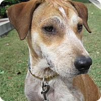 Hound (Unknown Type)/Labrador Retriever Mix Dog for adoption in Branson, Missouri - moon / Annabelle