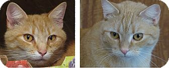 American Shorthair Cat for adoption in Unionville, Pennsylvania - Sammi & Theo