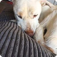 Adopt A Pet :: Diva - Allen, TX