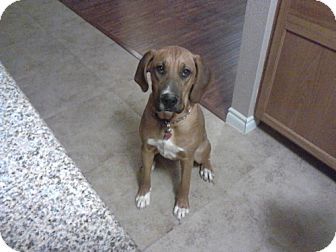 Bloodhound Mix Dog for adoption in Las Vegas, Nevada - Lilly