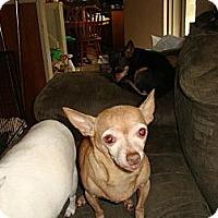 Adopt A Pet :: Shakira - Leesport, PA