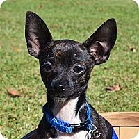 Adopt A Pet :: *Gadget - PENDING - Westport, CT