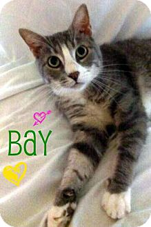 Domestic Shorthair Cat for adoption in Audubon, New Jersey - Bay
