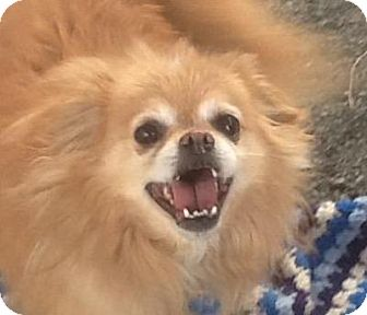 pomeranian rescue oregon oso adopted dog madras or pomeranian pug mix 3031