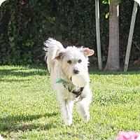 Westie, West Highland White Terrier/Terrier (Unknown Type, Medium) Mix Dog for adoption in Imperial Beach, California - Russ