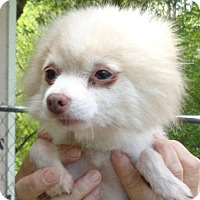 Adopt A Pet :: Pom Pom (Reynolds) - Crump, TN