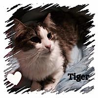 Adopt A Pet :: Tiger - Harrisburg, NC