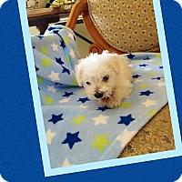 Adopt A Pet :: Leprechaun - Scottsdale, AZ