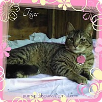 Adopt A Pet :: Tiger - Fort Worth, TX