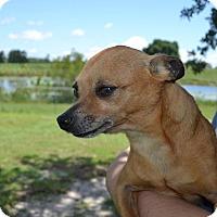 Adopt A Pet :: Jet - Tavares, FL