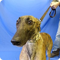 Adopt A Pet :: Boc's Louisville - Carol Stream, IL