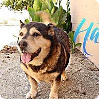Adopt A Pet :: HANS - DELANO, CA
