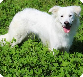 Great Pyrenees Mix Dog for adoption in Kyle, Texas - Diamond