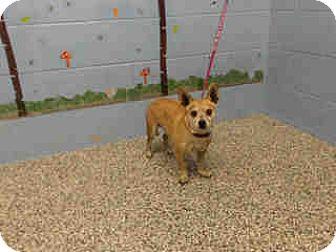 Chihuahua Mix Dog for adoption in San Bernardino, California - URGENT ON 9/28  San Bernardino