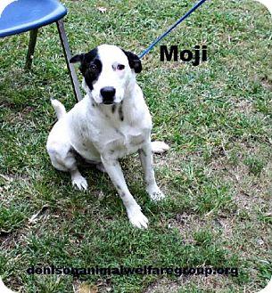 Australian Cattle Dog/Terrier (Unknown Type, Medium) Mix Dog for adoption in Denison, Texas - Moji